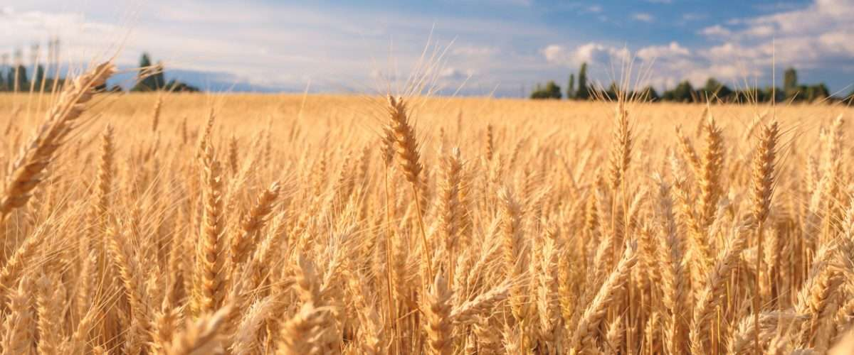 Wheat cultivation targets in Punjab surpassed, as sowing achieved over 101.90 % of set targets - Inside Financial Markets